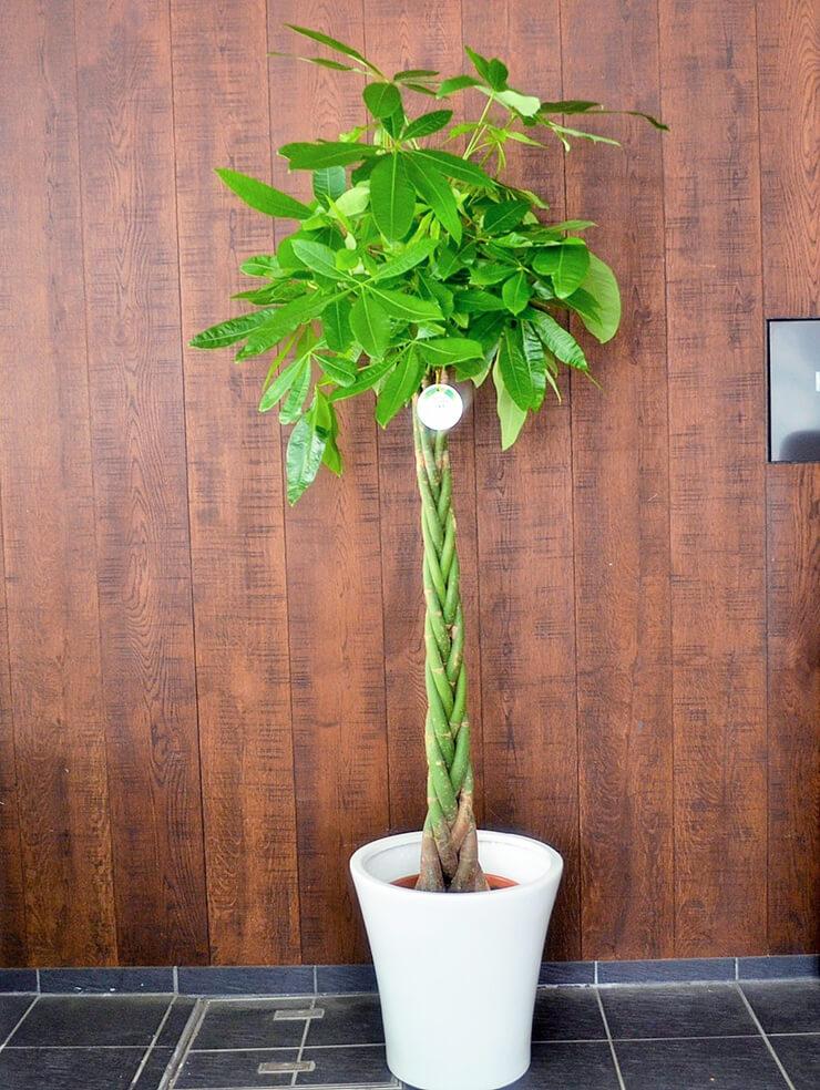 事務所開設祝い観葉植物パキラ