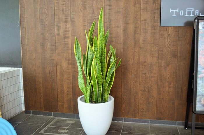 移転祝い観葉植物サンスベリア