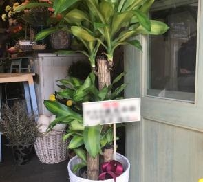 開業祝い観葉植物幸福の木