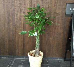 開業祝い観葉植物パキラ