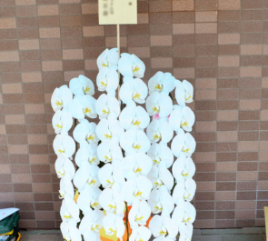 開院祝い胡蝶蘭