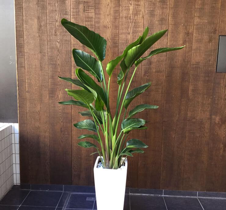 港区東麻布移転祝い観葉植物オーガスタ