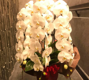 東京ミッドタウン日比谷 鮨なんば様の開店祝い胡蝶蘭