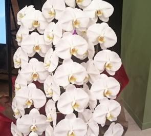 池袋サンシャイン60 GLOCAL CAFE IKEBUKURO様の開店祝い胡蝶蘭