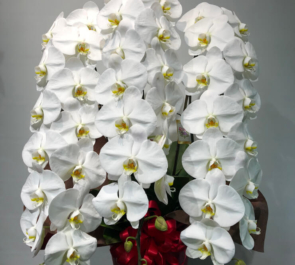 銀座 Club La Mela様のお祝い胡蝶蘭