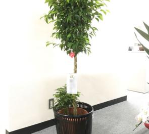 日本橋本町 株式会社カネキカナカオ様の移転祝い観葉植物
