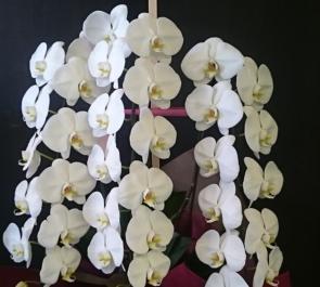 中野 チューリッヒ保険会社様の移転祝い胡蝶蘭