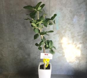 元赤坂 Jetrunテクノロジ株式会社様の本社移転祝い観葉植物