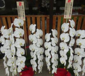 品川区東大井 行政書士法人きずな東京様の移転祝い胡蝶蘭