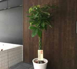 日本橋富沢町 一般社団法人東京建築士会様の移転祝い観葉植物 パキラ