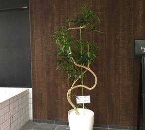 東麻布 SSAB整骨院様の開院祝い観葉植物シェフレラ
