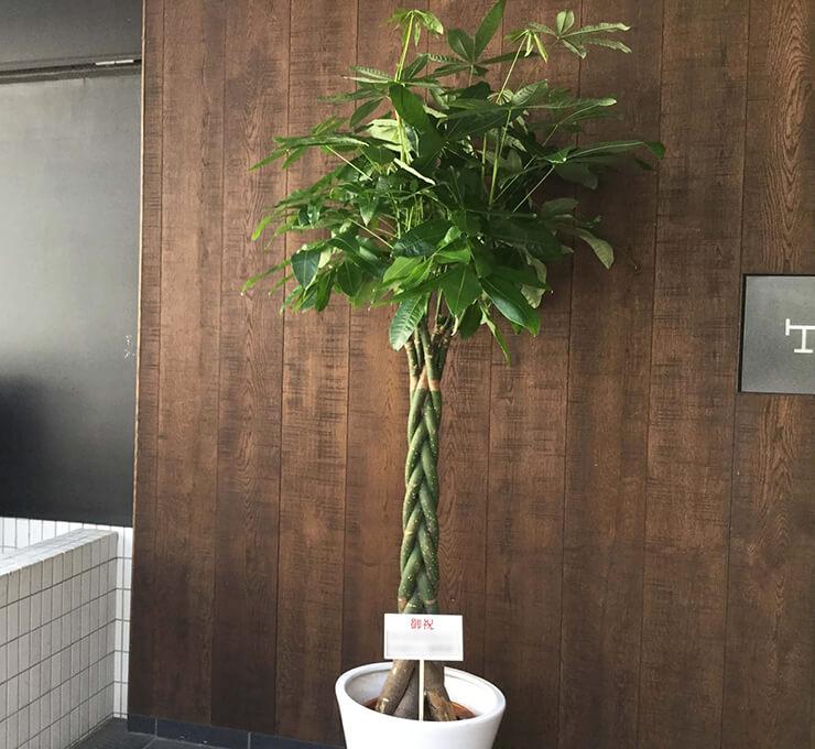 日本橋茅場町 明哲綜合法律事務所様の事務所開設祝い観葉植物