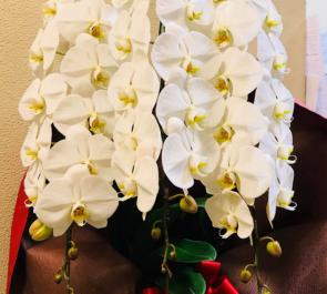 渋谷区桜丘町 富士屋本店様の開店祝い胡蝶蘭