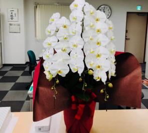 台東区 株式会社グリーンベル様の50周年祝い胡蝶蘭