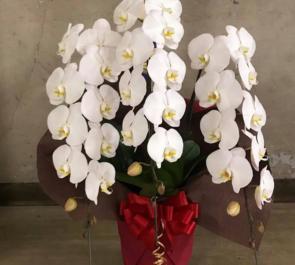 丸の内 三菱UFJフィナンシャルグループ様の就任祝い胡蝶蘭
