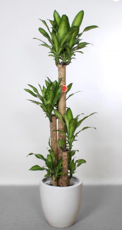 銀座 株式会社スイッチフェア様の開店祝い観葉植物