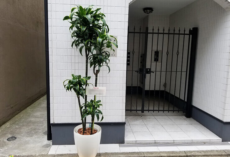 新宿区 移転祝い観葉植物 ドラセナ