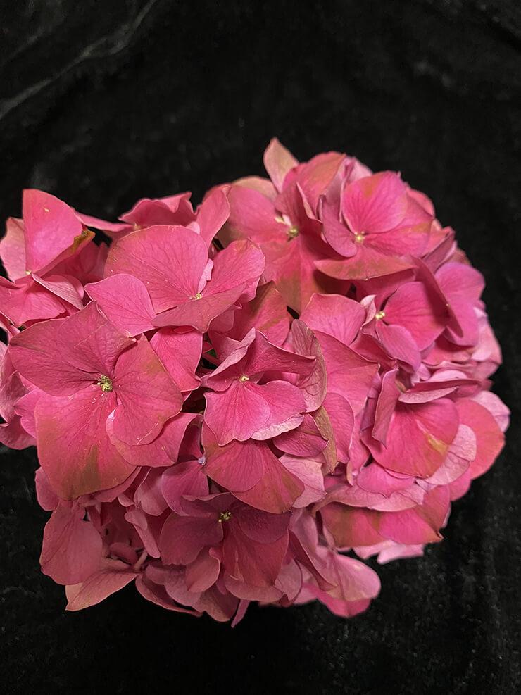 紫陽花(ルビーレッド)