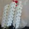 日光警備保障株式会社様の創業50周年祝い胡蝶蘭3本立て @新宿区信濃町