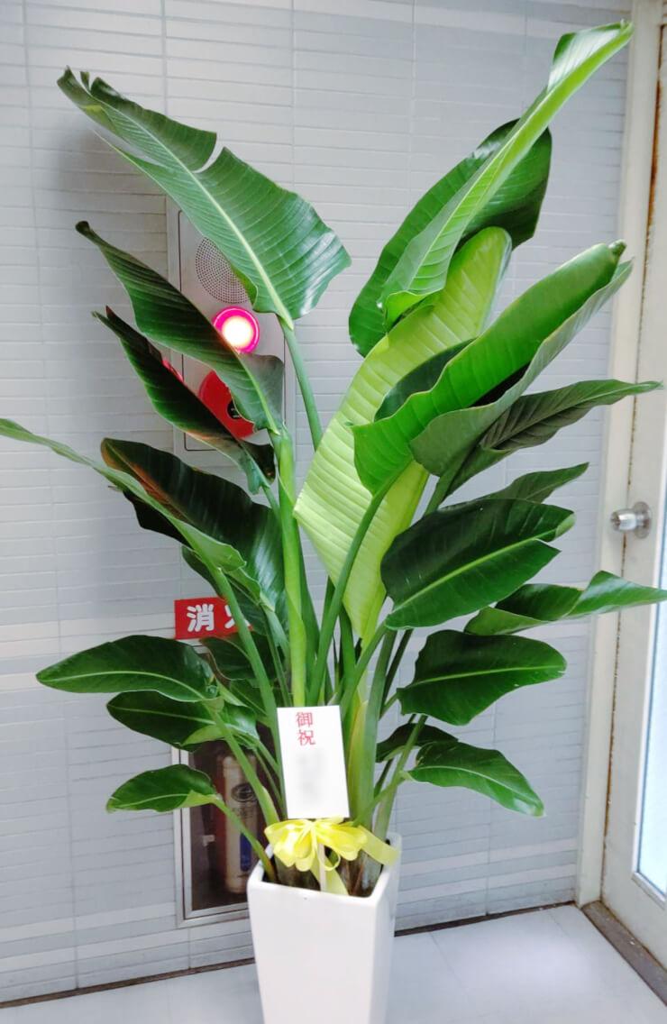 藤本・早崎法律事務所様の開業祝い観葉植物オーガスタ @虎ノ門