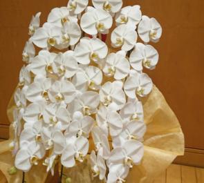 株式会社朋栄様の創立50年祝い胡蝶蘭三本立 @恵比寿