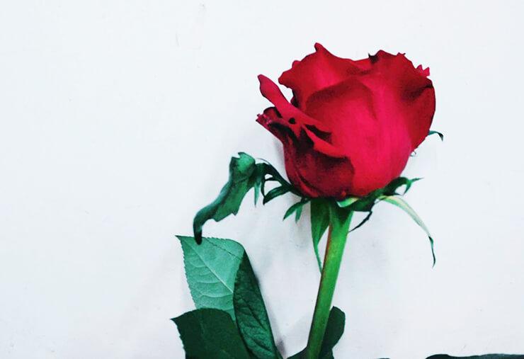 赤バラ(サムライ)