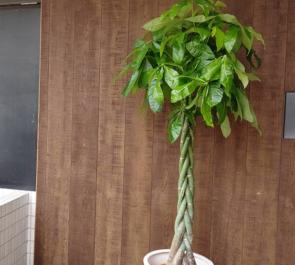 T-W&Y-A弁護士事務所様の移転祝い観葉植物 パキラ @日本橋