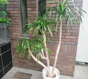 アジ好きですか?様の開店祝い観葉植物 ドラセナ ドラコ @練馬