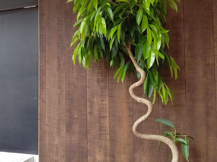 訪問介護サービス 稲穂の里様の開業祝い観葉植物 フィカス・アムステルダムキング @品川