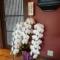 おがわ温泉 花和楽の湯様の営業再開開店祝い胡蝶蘭 @埼玉県比企郡小川町